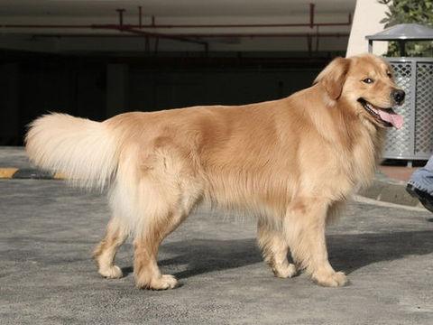 金毛幼犬怎么挑选与购买?