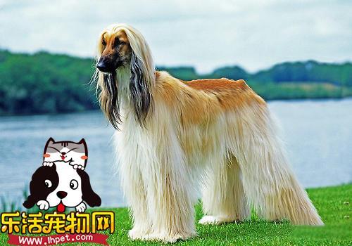 阿富汗猎犬的被毛护理很重要