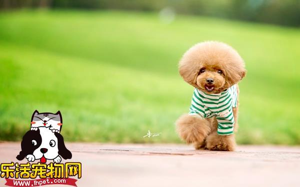 泰迪犬.jpg