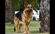 怎样挑选好训练的德国牧羊犬幼犬?