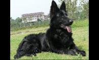 优秀的比利时牧羊犬该怎么挑选呢?在购买比牧犬时又应该注意些什么呢?