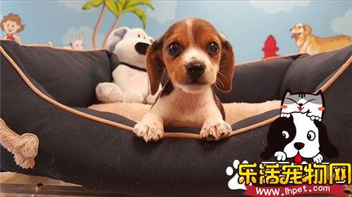 比格犬体型标准 比格犬标准身高30到40厘米