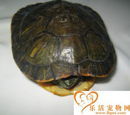 乌龟是什么时候冬眠 从11月到次年4月初