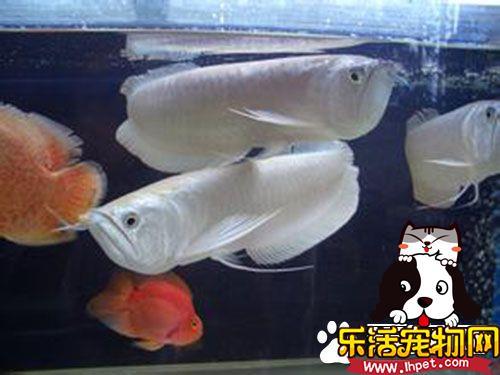 银龙鱼什么样的好 银龙鱼体呈长带形侧扁