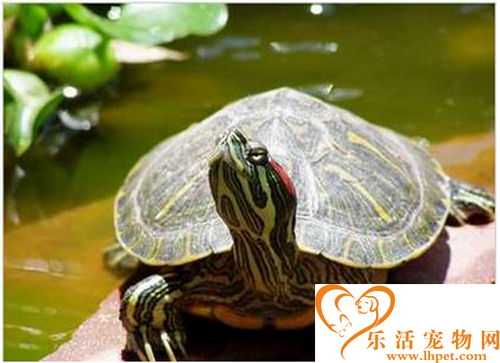 巴西龟多少钱 教你选购巴西龟