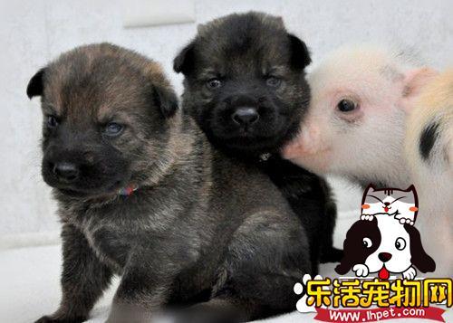 猪和德国牧羊犬打架 可能会发生打架的现象