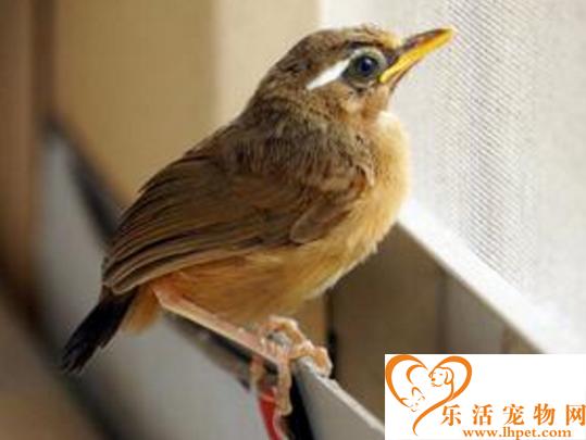 画眉鸟雏鸟饲养   要注意饮食的卫生和营养搭配