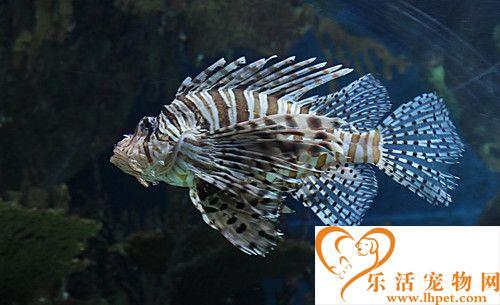 哪些热带鱼是胎生 卵胎生热带鱼怎么繁殖