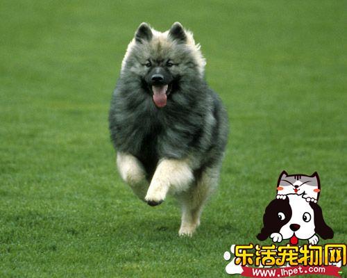 荷兰毛狮犬训练难度 荷兰毛狮犬如何训练