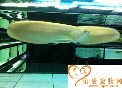 银龙鱼适合跟什么鱼混养 适应性较强的鱼