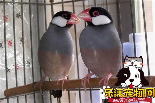 灰文鸟饲养 灰文鸟饲养需要注意的事项