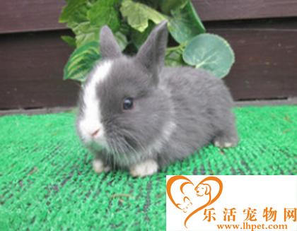 荷兰侏儒兔寿命 寿命长短跟生存环境有关