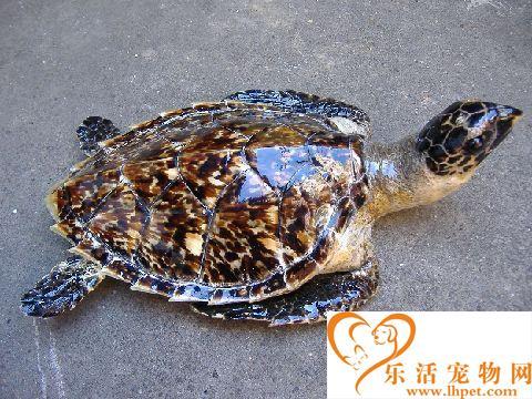 玳瑁海龟的价格 玳瑁龟多少钱一只呢