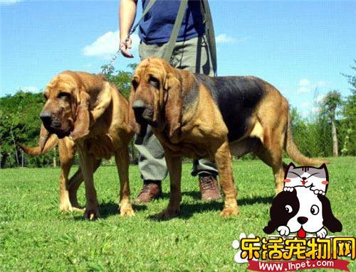 寻血猎犬性格 寻血猎犬的性格温顺和善