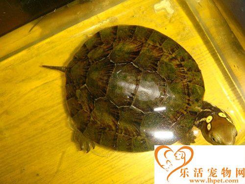 四眼斑龟的家庭饲养 平时最喜食动物性饵料