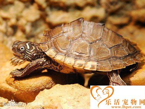 地图龟的饲养方法 地图龟的生活习惯和特征