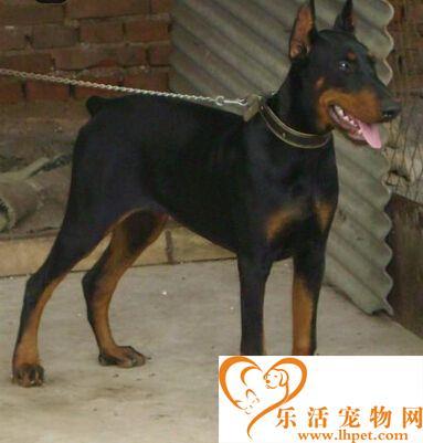 杜宾犬打架 早期杜宾犬是凶残且有攻击性