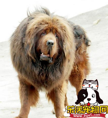 藏獒大还是纽芬兰犬大 这两个狗狗谁厉害