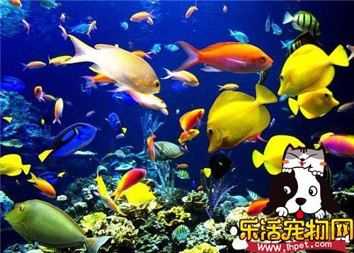 哪种热带鱼最好养 孔雀鱼饲养相对比较简单