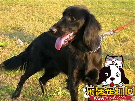 平毛寻回犬的价格 一般售价在600到2500元不等