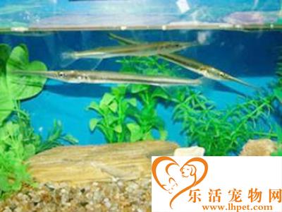 针嘴鱼怎么养 建议饲养水温为22-26℃