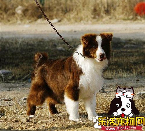 边境牧羊犬特性 边境牧羊犬的个性特征