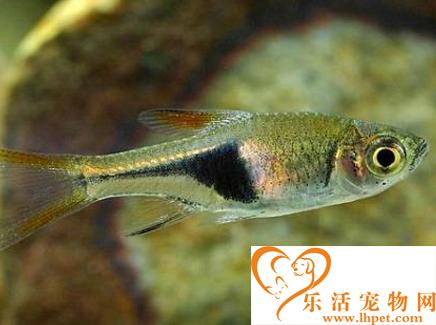 蓝三角鱼怎么养 适宜的生活环境很重要