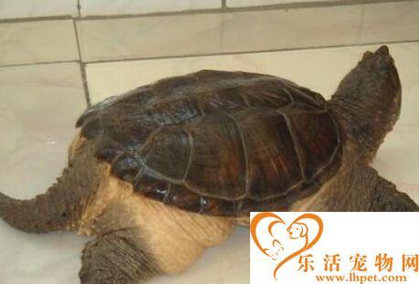 鳄鱼龟不吃东西 可能是对环境的不熟悉