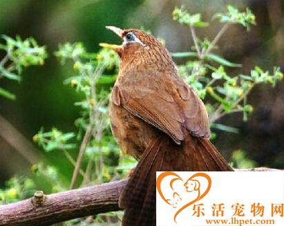 画眉鸟为什么不叫 可能因为对环境不熟悉