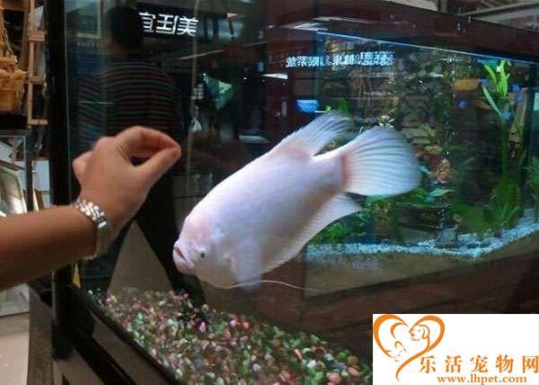 招财鱼怎么喂养 招财鱼喜欢光照和水草