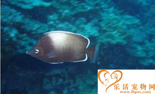 复活岛蝶的饲养环境 建议水温为24℃左右
