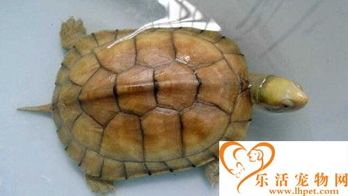 黄喉拟水龟饲养环境 黄喉拟水龟的庭院饲养需求