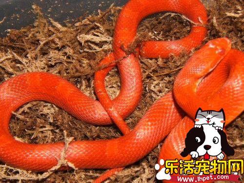 玉米蛇不吃东西 玉米蛇不吃东西的解决方法