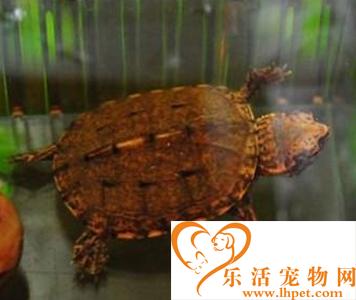 斑纹泥龟价格 它们喜欢夜晚出来活动