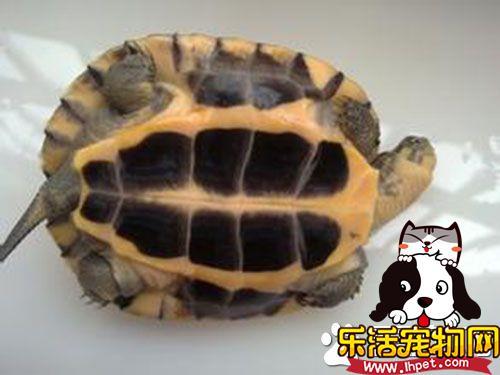 一只乌龟多少钱 一般的乌龟十元左右
