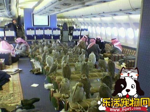 沙国王子出国打猎 买80张机票带猎鹰一起同行