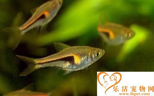篮三角鱼的饲养 喜食活饵料也食干饲料