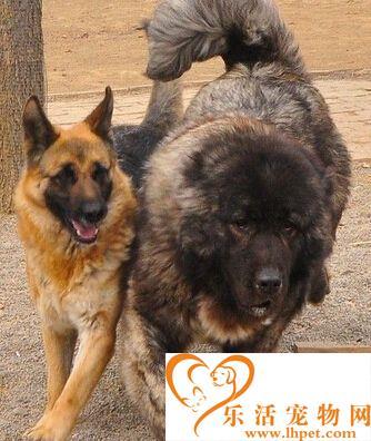 高加索犬温顺吗 天性是比较凶猛的狗狗