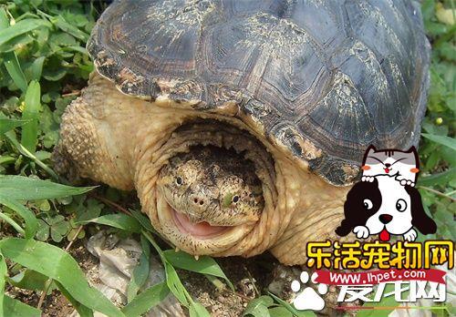 鳄龟怎么分雌雄 先来看看鳄龟排泄孔的位置