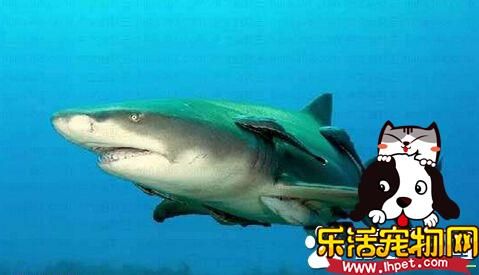 大堡礁四天第二起 澳洲男童惨遭鲨鱼咬伤