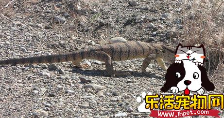 沙漠巨蜥价格 价格一直比较稳定在3000左右