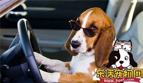 巴吉度猎犬和拉布拉多哪个聪明 拉布拉多比较聪明