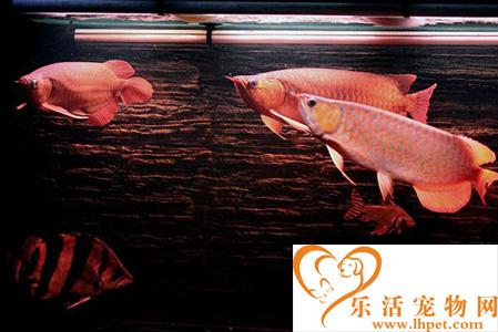 如何给龙鱼换水 换水频率应保持稳定