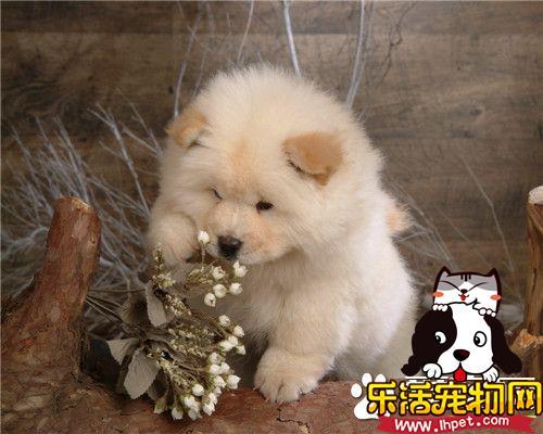 纯种苏俄猎狼犬的价位 价格在500到3500元