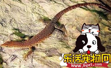帝汶巨蜥价格 帝汶巨蜥的价格在约250至400左右