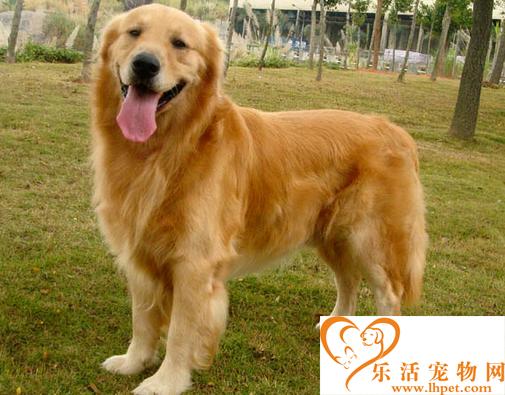 黄金猎犬价格 一般黄金猎犬价格相差不大