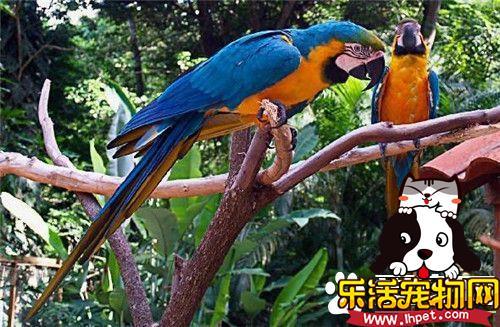 蓝黄金刚鹦鹉多少钱一只 5万元可以入手一只