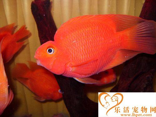 鹦鹉鱼吃什么长得快 吃干湿结合饲料长得快