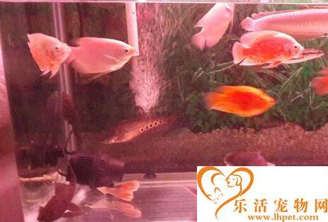 鹦鹉鱼和招财鱼混养 其混养注意事项