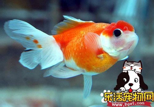 金鱼喜欢什么颜色 不同金鱼喜欢的颜色不同